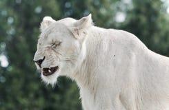Foto eines furchtsamen weißen schreienden Löwes Stockfotografie
