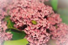 Foto eines grünen Käfers auf einem Hintergrund von rosa Blumen mit einer weißen Vignette Stockbild