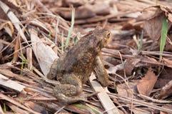 Foto eines großen Waldes des Frosches im Frühjahr lizenzfreies stockbild