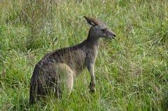 Foto eines Kängurus Stockbilder
