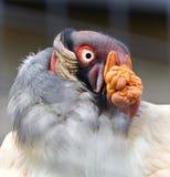 Foto eines lustigen klaren Königsgeiers, der beiseite schaut Lizenzfreie Stockfotografie