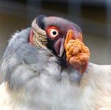 Foto eines lustigen klaren Königsgeiers, der beiseite schaut Stockbild