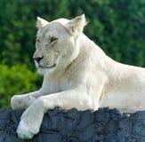 Foto eines lustigen weißen Löwes, der versucht nicht zu schlafen Stockfotos