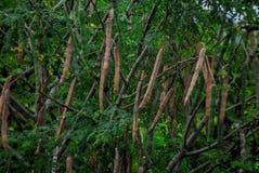 Foto eines Moringa-Baums mit Samen lizenzfreie stockbilder
