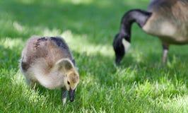 Foto eines netten Kükens von Kanada-Gänsen, die Gras essen Stockfotografie
