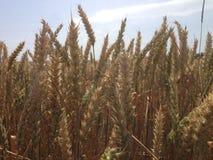Foto eines Weizenfeldes Lizenzfreies Stockbild