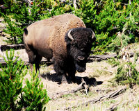 Foto eines wilden Büffels im grünen Wald lizenzfreie stockbilder