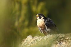 Foto eingelassen einem Zoo Peregrine Falcon hat eine Welterweiterung lizenzfreie stockfotos