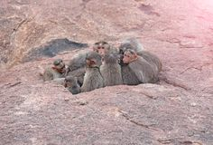 Foto eingelassenes Indien Affefamilie schläft im Berg im Th Stockbilder