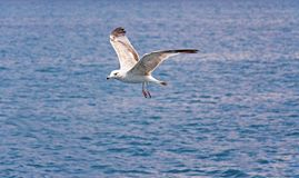 Foto eingelassenes Kroatien Einzelne Seemöwe im Flug gegen das Meer lizenzfreies stockbild