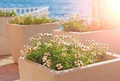 Foto eingelassenes Kroatien Weiße Gänseblümchen in einem Topf im Freien stockbilder