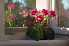Foto en el crecimiento completo rojo, gloxinia rosado de la flor, campánula, Sinni imágenes de archivo libres de regalías