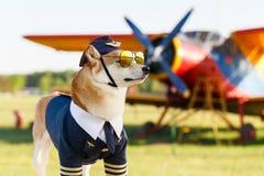 Foto engraçada do cão do inu de Shiba Imagem de Stock Royalty Free