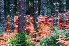 Foto espeluznante oscura del bosque del pino colorido de la temporada de otoño que representa el au fotos de archivo libres de regalías