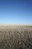 Foto exterior do campo que foi colhido com o céu azul claro Fotos de Stock Royalty Free