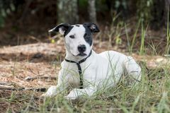 Foto för adoption för husdjur för hund för byracka för avel för pekarebulldogg blandat royaltyfri foto