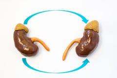 Foto för begrepp för njuretransplantation Två njure med pilar från en till andra symboliserar process av kirurgisk transplantatio arkivbild