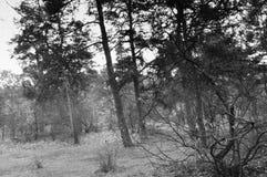 Foto för sen nedgång för trä svartvitt Royaltyfri Foto