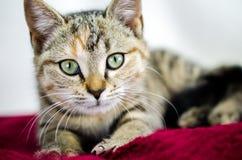 Foto för Tabby Calico kattungeadoption, Walton County Animal Control Royaltyfria Bilder