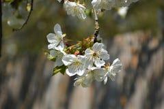Foto för trädblomningmateriel Royaltyfri Bild