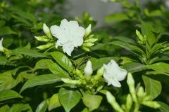Foto för vita blommor Royaltyfri Bild