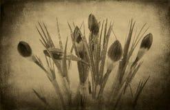 Foto FO do vintage uma flor do açafrão Imagens de Stock