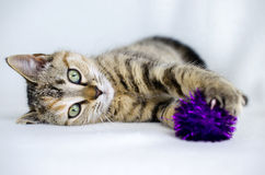 Foto för Tabby Calico kattungeadoption, Walton County Animal Control Royaltyfri Bild