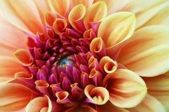 Foto fresca gialla e bianca di rosa, della dalia del fiore di macro Immagine a colori che sottolinea i colori differenti leggeri  immagine stock
