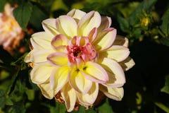 Foto fresca gialla e bianca di rosa, della dalia del fiore di macro Immagine a colori che sottolinea i colori differenti leggeri  fotografia stock