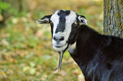 Foto goat black white portrait Royalty Free Stock Photos