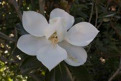 Foto grandiflora de la magnolia de los pétalos y de los estambres blancos fotos de archivo