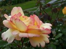 Foto HD De Flor amarilla y Rosa naturalny, HD fotografia naturalny żółty kwiat/ zdjęcie stock