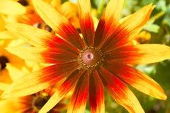 Foto hermosa de la flor amarillo-roja del echinacea Visión superior, cierre Fotografía de archivo libre de regalías