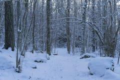Foto hermosa de la naturaleza de la tarde fría del invierno en bosque y bosque suecos Fotos de archivo libres de regalías