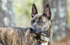 Foto holandesa berrenda de la adopción del perro de la raza de la mezcla del pastor Fotografía de archivo