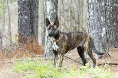 Foto holandesa berrenda de la adopción del perro de la raza de la mezcla del pastor Imágenes de archivo libres de regalías