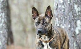 Foto holandesa berrenda de la adopción del perro de la raza de la mezcla del pastor Foto de archivo