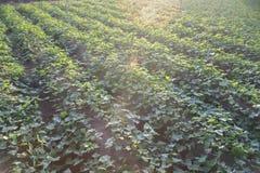 Foto im Freien von Süßkartoffelanlagen auf einem Gebiet Süßkartoffelfeld mit Reihen von Anlagen Selektiver Fokus Sonnenuntergangm lizenzfreie stockfotos