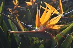 Foto imponente de una flor de la ave del paraíso en la floración Foto de archivo