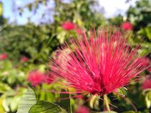 Foto impressionante do único fundo doce colorido cor-de-rosa da flor fotografia de stock