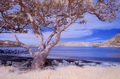 Foto infrarossa di un paesaggio della spiaggia con un albero nel foregroun immagini stock libere da diritti