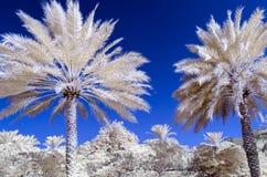 Foto infravermelha das palmas de data e de um céu azul Fotos de Stock
