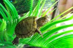 Foto, kleine Rot-ohrige Schildkröte, die auf einem Blatt von Algen sitzt stockfotografie
