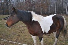 Foto laterale di Brown e del cavallo bianco Immagini Stock