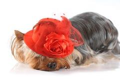 Foto linda del terrier de yorkshire en sombrero rojo Foto de archivo libre de regalías