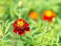 Foto macia do foco das flores Foto de Stock Royalty Free