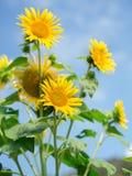 Foto macia do foco de flores do sol Fotografia de Stock Royalty Free