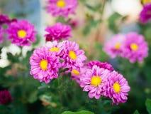 Foto macia do foco de flores dos mums Fotografia de Stock Royalty Free