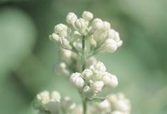 Foto macra blanca de la lila Imágenes de archivo libres de regalías