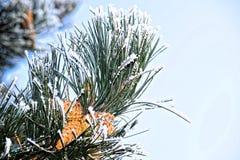 Foto macra Bosque del invierno, hojas más amarillas, agujas verdes del pino y ramas de los árboles cubiertos con los cristales de Fotografía de archivo